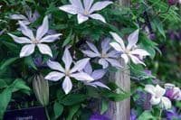 Clematis SUGAR SWEET BLUE Scented Clem